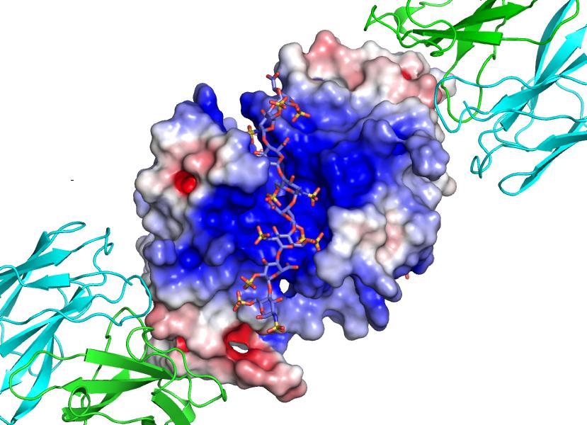 G6b-B Platelet Receptor