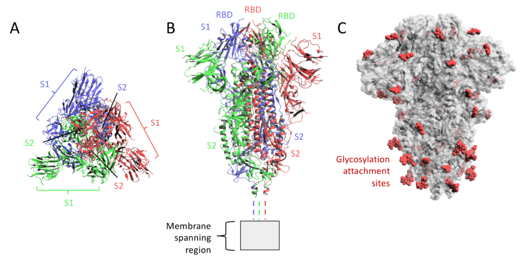 Peak Proteins | Spike Proteins | COVID19