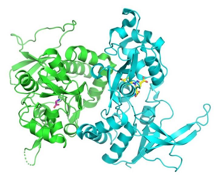 Crystal structure of GluN1/GluN2A NMDA receptor