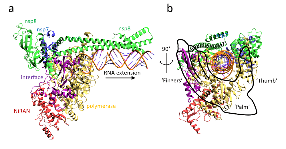 Structure of 2019-nCoV RdRp (nsp7/nsp8/nsp12) complex